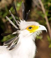 Secretary Bird 1 by mohaganbev
