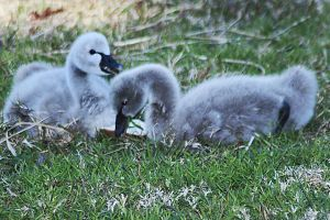 Cygnet-ure shot 1 by wildplaces