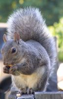 Squirrel 02 by Limited-Vision-Stock