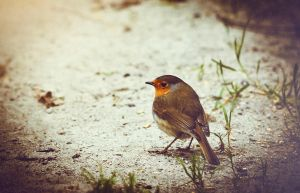 Robin by PraszPhotography