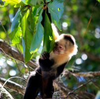 Monkey Looking Around Leaf by Sp3nc3r-H1nds