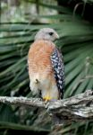 Red sholdered hawk by illmatar