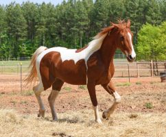 chestnut saddlebred 4 by venomxbaby