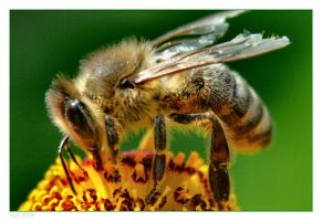 Bee Close Up Filter test by Tanja0869