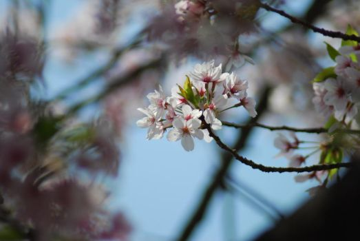 Cherry Blossom by cieri