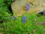 Bluebonnet 2 by lovlyninja39