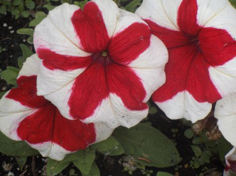White and Red Petunias by MyLoveForYouEternity