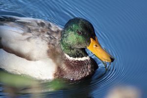 wild duck male by marob0501