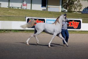 TW arab whitegrey trot side by Chunga-Stock