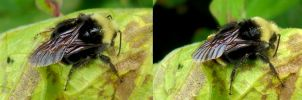 Bee Wing by Treeclimber-Stock