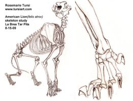 American Lion skeletal study 2 by tursiart