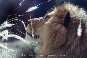 Lion_0045 by SkyeMarree