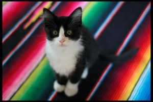 Rainbow cat by schumix