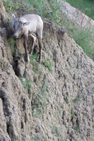 Mountain Goat at Badlands National Park, SD 2013 by Crigger