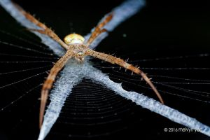 Argiope by melvynyeo