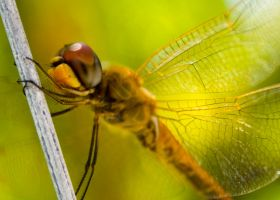 Dragonfly by butter-on-bread