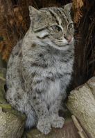 Fishing Cat. by quaddie