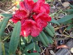 Langford Rhododendron by AmongTheFirst