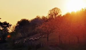 sheeps and sun by Holunder