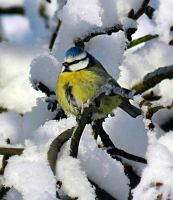 Blue Tit by MP-Tuomela