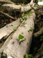 ROPanama Research: Leaf Cutter Ants by Namyr