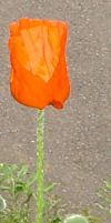 Tulip Poppy by snoogaloo