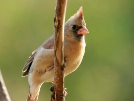 Female Cardinal by MichelLalonde