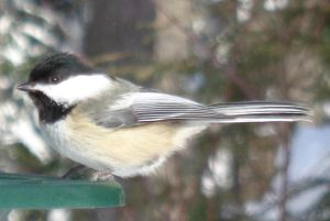 Chickadee (12) - crop by Steve-C2