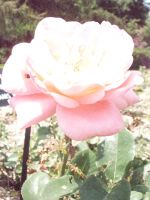Another pink rose. by KristineAdelia