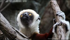 Serene Sifaka Portrait by SilkenWinds