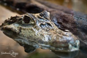 Reptile 01 by Zoltaniev