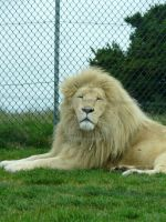 White Lion. by Iron-Star