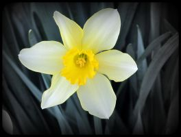 first daffodil of spring by x--photographygirl