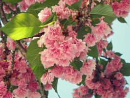 Pink Pom Poms by Michies-Photographyy