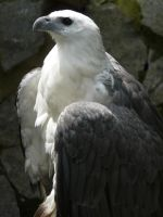 White-Bellied Sea Eagle 2 by VinceArt