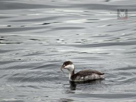 Horned Grebe With Eel by wolfwings1