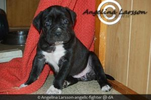 Black Cane Corso puppy by Angelic-Fighter