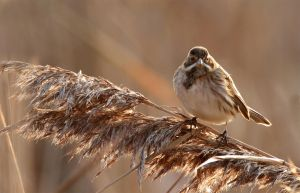 Reed Bunting by Jamie-MacArthur