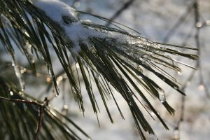Snowy Pine by edgyqueen