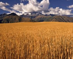 Fields of Gold by tapr