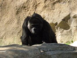 Gorilla 19 by my-dog-corky
