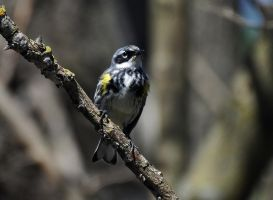 A yellow rumped warbler by masscreation