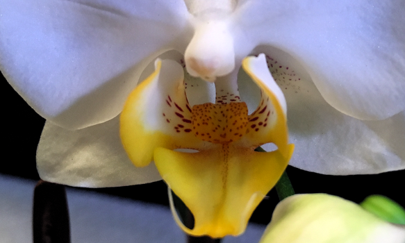 Gold on White by MangleOrchid