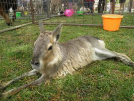 Patagonian Cavy by Destroyah93
