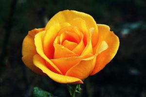 Deep Yellow Rose by DaFotoGuy