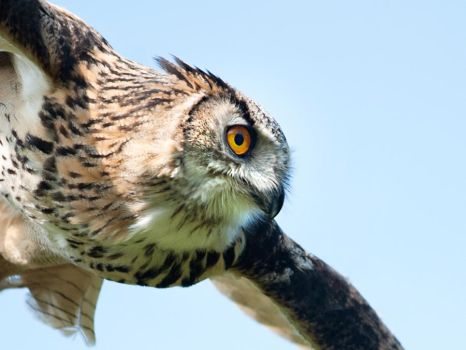 Eagle Owl by Bootcoot