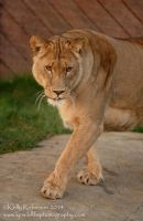 Malika the Lion by Shadow-and-Flame-86