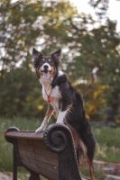 Border collie by FainaPoganko123