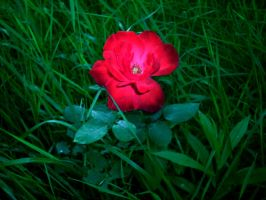 rose red by Corsico