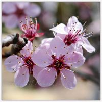 Prunus by WaitingForTheWorms